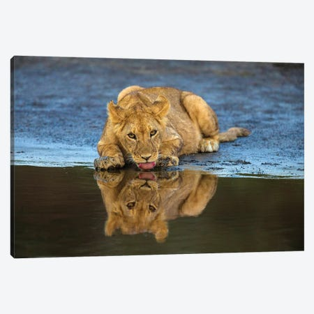 Africa. Tanzania. African lions at Ndutu, Serengeti National Park. Canvas Print #RHB5} by Ralph H. Bendjebar Canvas Wall Art