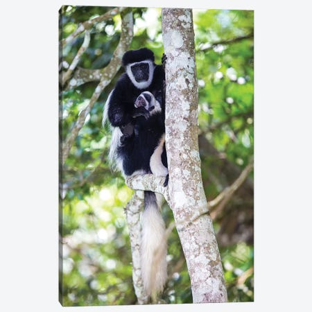 Africa. Tanzania. Black and White Colobus at Arusha National Park. Canvas Print #RHB6} by Ralph H. Bendjebar Canvas Wall Art