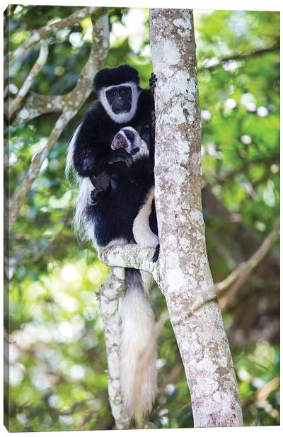 Africa. Tanzania. Black and White Colobus at Arusha National Park. Canvas Art Print
