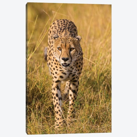 Africa. Tanzania. Cheetah hunting on the plains of the Serengeti, Serengeti National Park. Canvas Print #RHB7} by Ralph H. Bendjebar Canvas Artwork