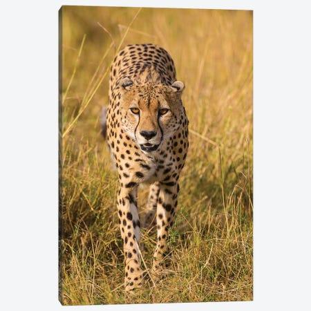 Africa. Tanzania. Cheetah hunting on the plains of the Serengeti, Serengeti National Park. Canvas Print #RHB7} by Ralph H. Bendjebar Canvas Artwork