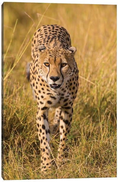 Africa. Tanzania. Cheetah hunting on the plains of the Serengeti, Serengeti National Park. Canvas Art Print