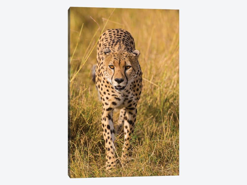 Africa. Tanzania. Cheetah hunting on the plains of the Serengeti, Serengeti National Park. by Ralph H. Bendjebar 1-piece Art Print