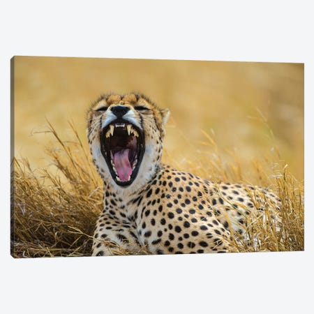 Africa. Tanzania. Cheetah yawning after a hunt on the plains of the Serengeti, Serengeti National Park. Canvas Print #RHB8} by Ralph H. Bendjebar Canvas Art Print