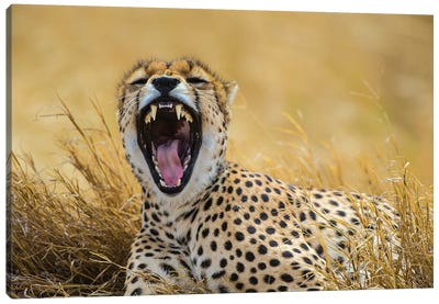 Africa. Tanzania. Cheetah yawning after a hunt on the plains of the Serengeti, Serengeti National Park. Canvas Art Print