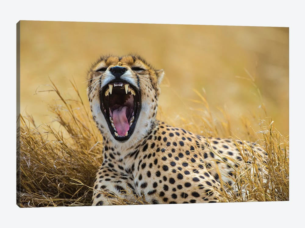 Africa. Tanzania. Cheetah yawning after a hunt on the plains of the Serengeti, Serengeti National Park. by Ralph H. Bendjebar 1-piece Canvas Art
