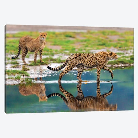 Africa. Tanzania. Cheetahs cross some water at Ndutu, Serengeti National Park. Canvas Print #RHB9} by Ralph H. Bendjebar Canvas Print