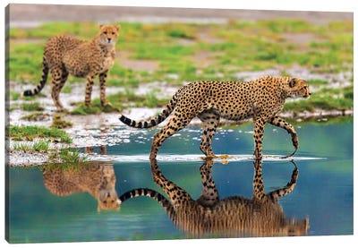Africa. Tanzania. Cheetahs cross some water at Ndutu, Serengeti National Park. Canvas Art Print