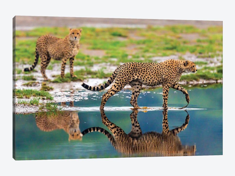 Africa. Tanzania. Cheetahs cross some water at Ndutu, Serengeti National Park. by Ralph H. Bendjebar 1-piece Canvas Art Print