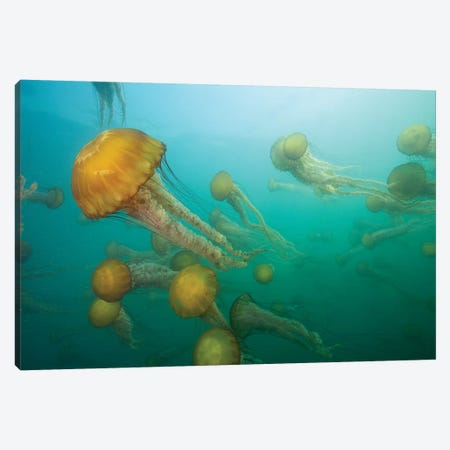 Pacific Sea Nettle Group, Monterey Bay, Monterey, California Canvas Print #RHM1} by Richard Herrmann Canvas Art