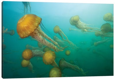 Pacific Sea Nettle Group, Monterey Bay, Monterey, California Canvas Art Print