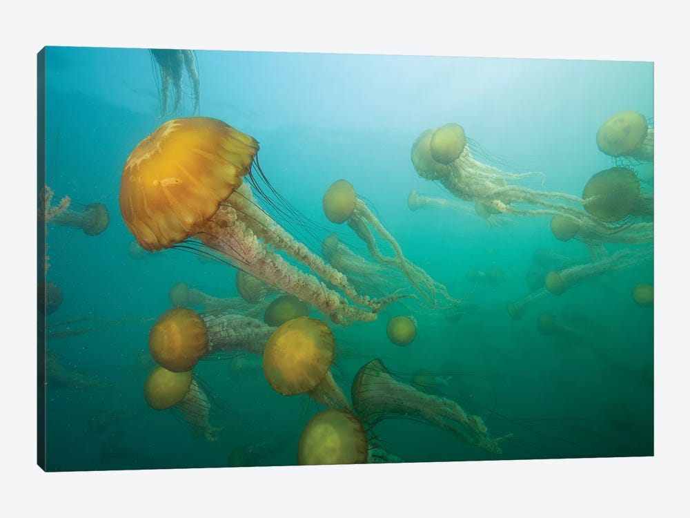Pacific Sea Nettle Group, Monterey Bay, Monterey, California by Richard Herrmann 1-piece Canvas Art