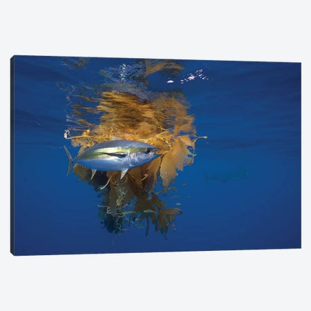Yellowfin Tuna And Blue Marlin Beside Floating Kelp, Nine Mile Bank, San Diego, California Canvas Print #RHM2} by Richard Herrmann Canvas Art
