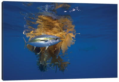 Yellowfin Tuna And Blue Marlin Beside Floating Kelp, Nine Mile Bank, San Diego, California Canvas Art Print