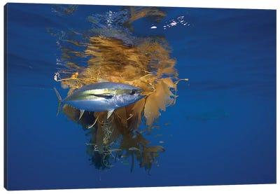 Yellowfin Tuna And Blue Marlin Beside Floating Kelp, Nine Mile Bank, San Diego, California Canvas Art Print