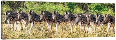 Affrican Family Zebras Canvas Art Print