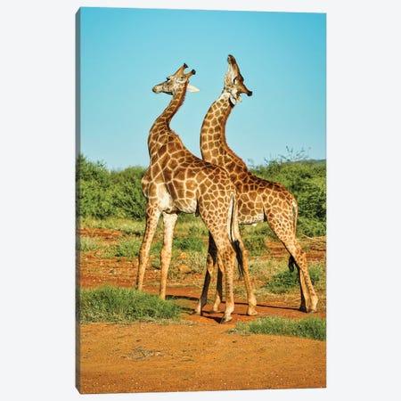 African Bull Giraffes Fighting Canvas Print #RHT112} by Rhonda Thompson Canvas Artwork
