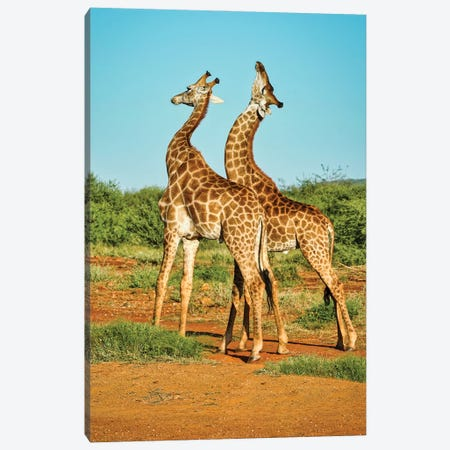 African Bull Giraffes Fighting Canvas Print #RHT112} by Rhonda Thompson Canvas Artwork