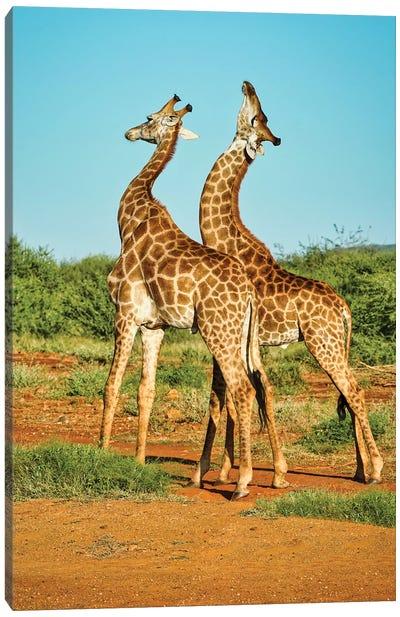African Bull Giraffes Fighting Canvas Art Print