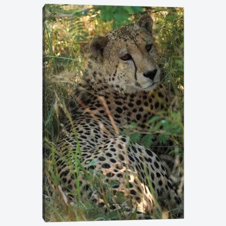 African Cheetah Canvas Print #RHT114} by Rhonda Thompson Canvas Art Print