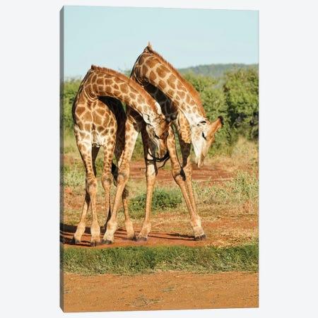African Dancing Giraffes Canvas Print #RHT115} by Rhonda Thompson Art Print