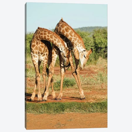 African Dancing Giraffes Canvas Print #RHT115} by Rhonda Thompson Art Print