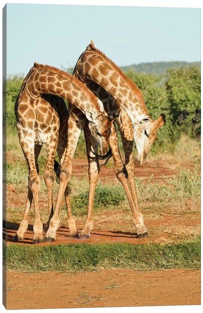 African Dancing Giraffes Canvas Art Print