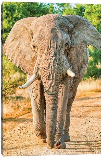 African Elephant True King Canvas Art Print