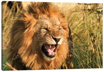 African Lion II Canvas Art Print
