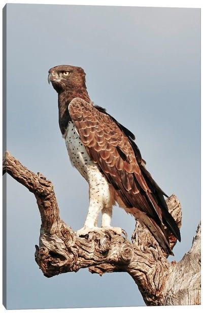 African Martial Eagle Canvas Art Print