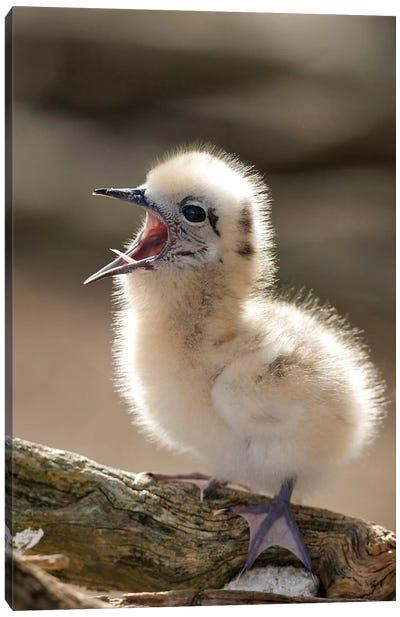 White Tern Chick Yawning, North America, Northwestern Hawaiian Islands, Midway Atoll. Canvas Art Print