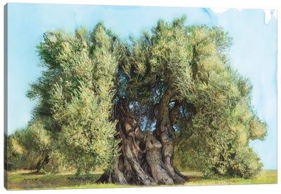Olive Tree On Greek Island Thassos VIII Canvas Art Print