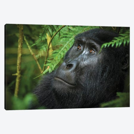 Mountain gorilla. Bwindi Impenetrable Forest. Uganda Canvas Print #RLH1} by Roger De La Harpe Canvas Art Print
