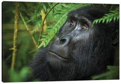 Mountain gorilla. Bwindi Impenetrable Forest. Uganda Canvas Art Print