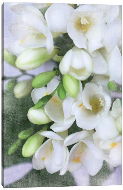Vintage Sprint White And Green Freesias Canvas Art Print
