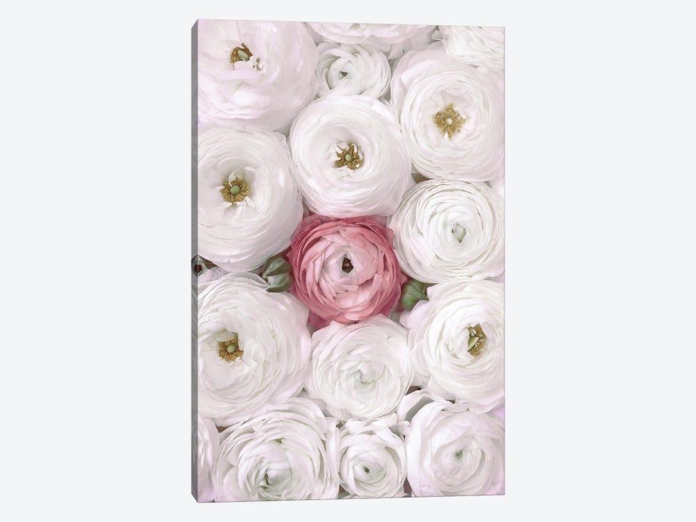 Ranunculus Extravaganza II In White And Blush by blursbyai 1-piece Canvas Print