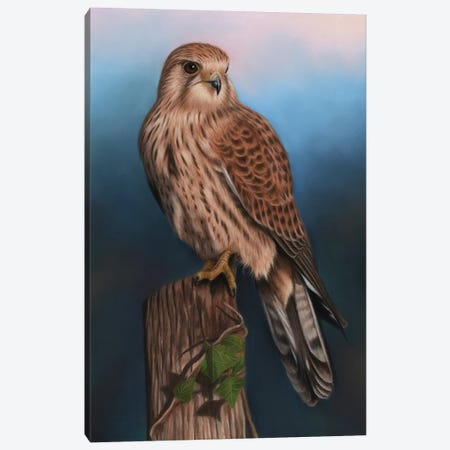 Kestrel Canvas Print #RMC28} by Richard Macwee Canvas Print