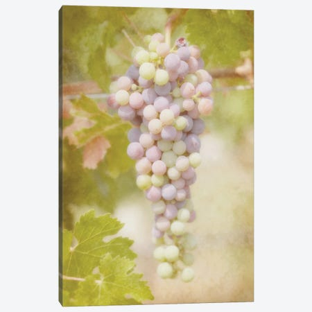 Viticulture Ripening Canvas Print #RMU102} by Roberta Murray Canvas Wall Art