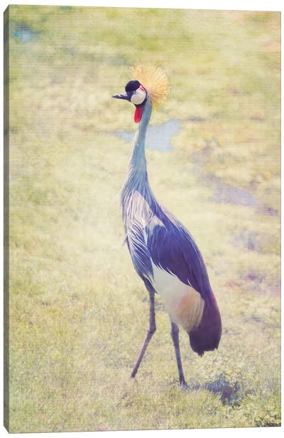 Grey Crowned Crane Canvas Art Print