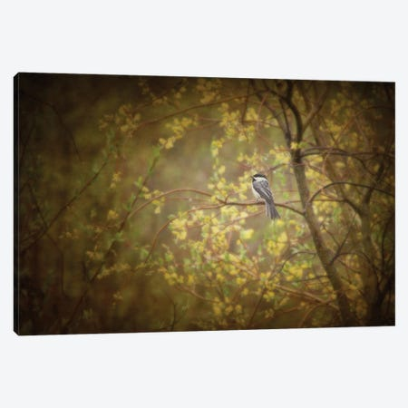 Chickadee In The Rain Canvas Print #RMU70} by Roberta Murray Canvas Wall Art