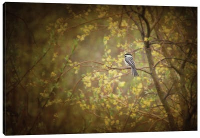 Chickadee In The Rain Canvas Art Print
