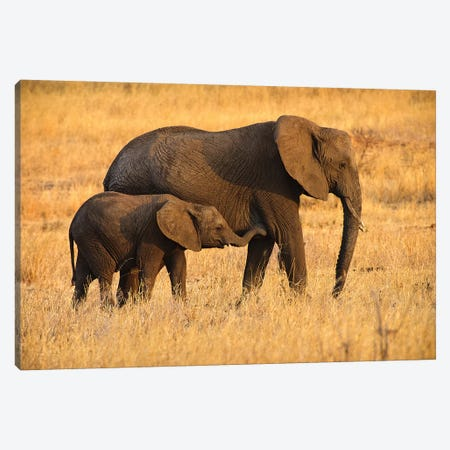Mother and Baby Elephants Canvas Print #RMZ3} by Adam Romanowicz Canvas Art Print