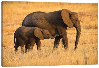 Mother and Baby Elephants Canvas Art Print