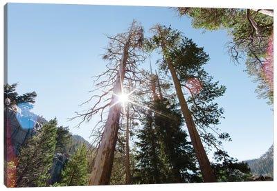 Jeffrey Pine Trees In Californian Mountains Canvas Art Print