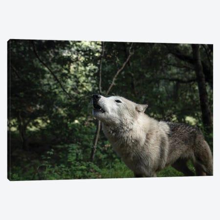 Howling Wolf In The Forest Canvas Print #RNN2} by Ben Renschen Canvas Art Print