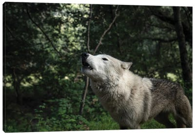 Howling Wolf In The Forest Canvas Art Print