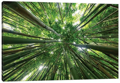 Looking Up To A Bamboo Forest Canopy Canvas Art Print