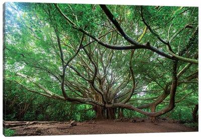 Pipiwai Trail Banyon Tree In Maui, Hawaii Canvas Art Print