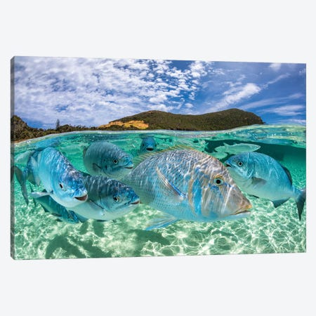 Curious Fish Lord Howe Island Canvas Print #RNS15} by Jordan Robins Art Print