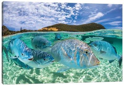 Curious Fish Lord Howe Island Canvas Art Print